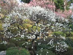 white plum tree fully bloomed
