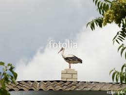 white stork standing on top of a roof sheeted with corrugated asbestos sheets near the nest protecting offspring ukraine