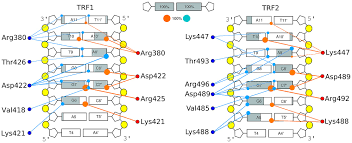 Direct And Water Mediated Hydrogen Bonds Between The Trf