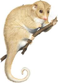 A Guide To All 27 Species Of Australias Possums And Gliders