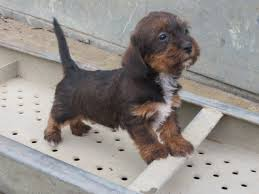 dachshund poodle mix puppies picture