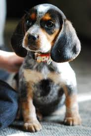 Bluetick Coonhound Size Chart Bluetick Beagle Puppy Cute Puppies Dogs Puppies Cute Dogs