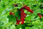 rode bessen planten kopen