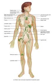 Lymph Nodes In The Body Diagram Different Lymph Node In