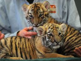 amur tiger cub sisters zeya and reka make their debut at connecticut s beardsley zoo in bridgeport