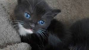 fluffy black kittens with blue eyes. Perfect With Black Kittens With Blue Eyes 4 Weeks Old For Fluffy Kittens With Blue Eyes U