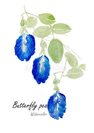 blue pea or erfly pea hand drawn watercolor painting on white background vector