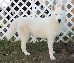 white husky german shepherd mix puppies. Brilliant Husky White Siberian Husky German Shepherd Mix Quotes 4ZkEMbFg To White Husky German Shepherd Mix Puppies M