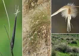 Lygeum spartum L. - Portale sulla flora del Parco Nazionale dell ...