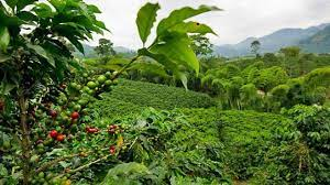 In fact, many blends from the country include notes of roasted chocolate, berry and citrus flavors. Costa Rica Focuses On Coffee To Achieve Its Carbon Neutrality Goals