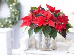 Weihnachtsstern – Ratgeber zur Pflanzenpflege   OBI