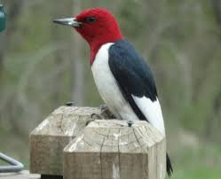 Red Headed Woodpecker Facts Habitat Diet Life Cycle Baby