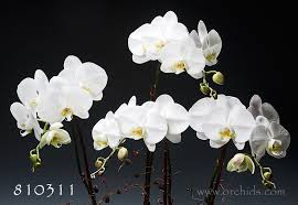 blooming orchids fast fresh delivery monthly orchids join the orchid club great gifts under 50