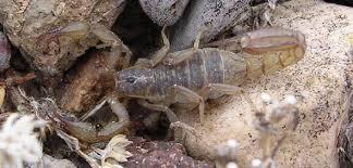 Lesser Stripetail Scorpion: Vaejovis coahuilae