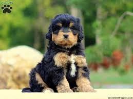 miniature bernedoodle puppies jpg