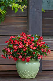 Surefire Red Begonia is the best plant for new gardeners, or those who say  they