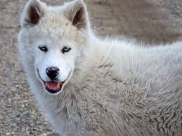 white husky wolf mix. Modren Wolf White Siberian Husky Wolf Mix Physical Differences Between Wolves And Dogs  Yamnuska Wolfdog Throughout H
