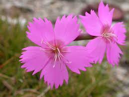 Dianthus sylvestris – Wikipedia