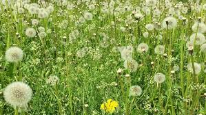 grass field background with flowers. Swaying Blowballs On Green Grass Field. Dolly Zoom Out. Fresh Background Beautiful Scene Field With Flowers E