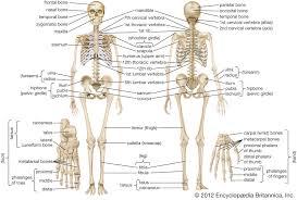 This interactive medical diagram of human body anatomy displays 28 clickable body parts/organs. Human Skeleton Parts Functions Diagram Facts Britannica