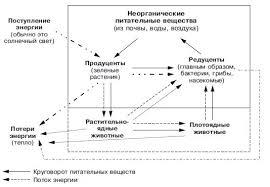 Реферат на тему ЭКОСИСТЕМА и БИОГЕОЦЕНОЗ биология прочее Основные компоненты экосистемы Светлыми стрелками показан поток энергии черными круговорот питательных веществ