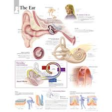 Scientific Publishing Ear Nose And Throat Chart