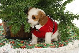 christmas puppy - cavalier king charles spaniel puppy under a christmas tree  Stock Photo - 15737769