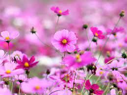 hd wallpaper kosmeya flowers pink