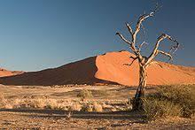 camel thorn tree acacia erioloba in the namib desert in namibia
