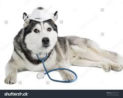 Dog Breed Siberian Husky Medical Mask ...