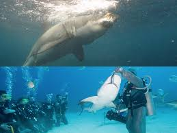 biol rs of ecology page  figure 2 shark ecotourism feeding top image source whitesharkconservationtrust org 2014 03 02 permits to be required for cage diving operations