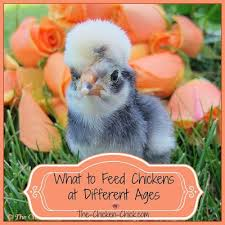 Growth Of A Chicken Chart Feeding Chickens At Different Ages The Chicken Chick