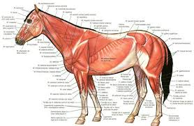 Parts Of A Horse Diagram Muscles Horse Superficial Muscles