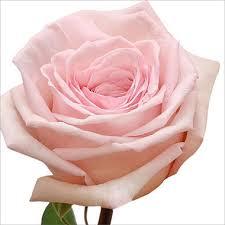 garden roses. Garden Roses, Pink O\u0027Hara (36 Stems) Roses U
