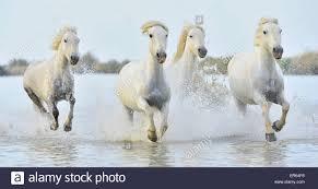 white horses running.  White Herd Of White Camargue Horses Run On Water The Sea France  Stock With Horses Running