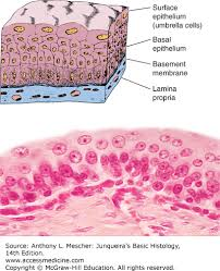 Classification Of Covering And Lining Membranes Complete The Following Chart Epithelial Tissue Junqueiras Basic Histology 14e