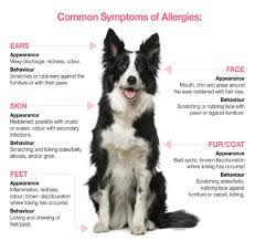 mon signs of allergies your pet s itchy skin