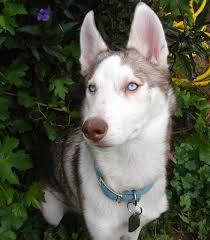 short haired huskies mine pictured do shed less but not by