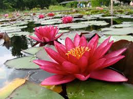 lotus and other aquatic plants