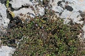 Micromeria filiformis, flora di Sardegna