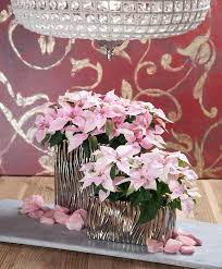 Weihnachtsstern Soft Pink