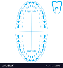 Orthodontic Tooth Chart Orthodontist Human Tooth Anatomy With Numbering
