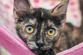 Cat Coat Color Chart Cat Colors Get The Fascinating Facts Behind Cat Coats