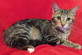 Nisa came to us with her three kittens, Noreen, Nora and Nico. She has been  a wonderful mother...read more about Nisa