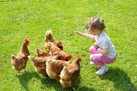 Raising Backyard Chickens  YouTubeHow To Keep Backyard Chickens