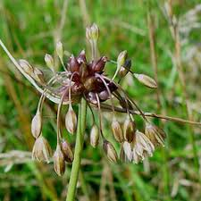 Allium oleraceum (field garlic): Go Botany