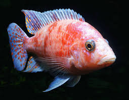 Peacock Cichlid Varieties Care Guide Tank Mates And More