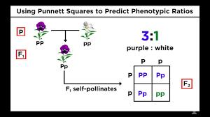 Mendelian Genetics Chart Mendelian Genetics And Punnett Squares
