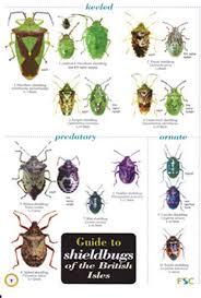 Shieldbugs Of The British Isles