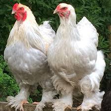 Isabel Brahma Hen And Rooster Brahma Kippen Eenden En Kip